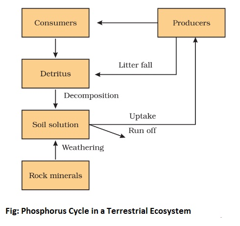 phosphorus cycle in a terrestrial ecosystem - Biogeochemical Cycle