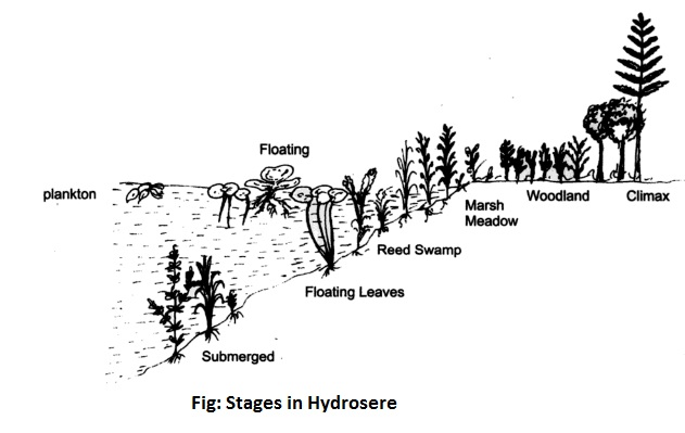 stages in hydrosere - Ecological Succession or Biotic Succession
