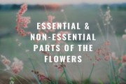 Essential and Non-essential Parts of the Flowers