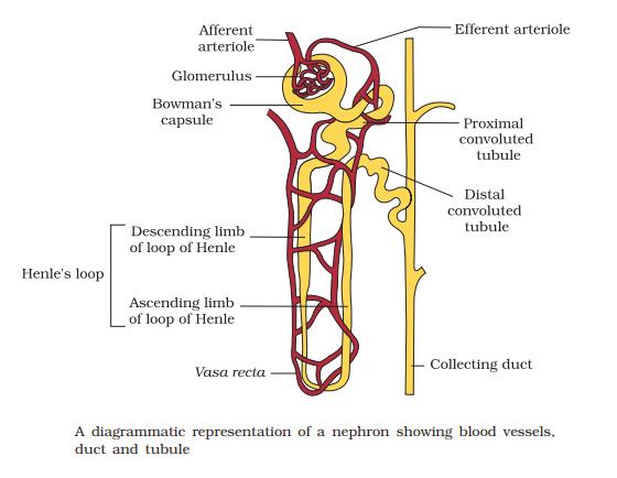 nephron - Structure of Nephron