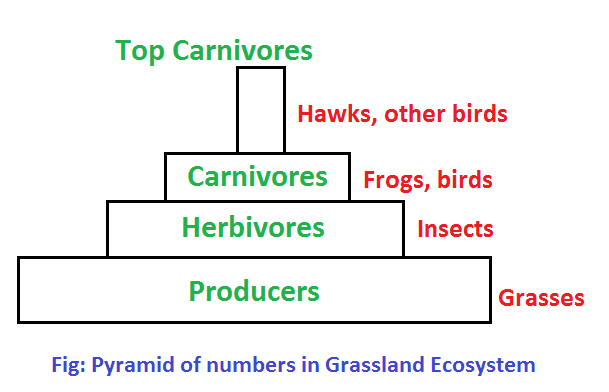 pyramid of numbers grassland - Ecological Pyramids