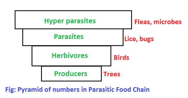 pyramid of numbers in parasitic food chain - Ecological Pyramids