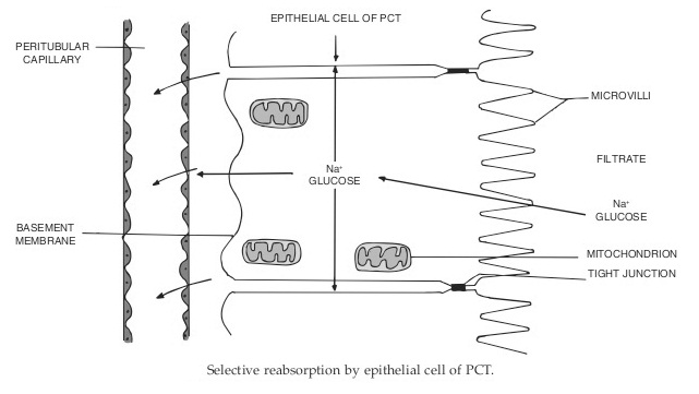 reabsorption in epithelial cells of pct - Mechanism Of Urine Formation In Human