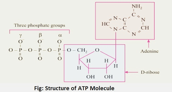 structure of atp molecule - Adenosine Triphosphate And Its Function