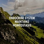 Endocrine system maintains homeostasis