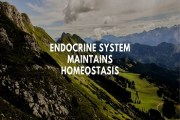 Explain with examples how endocrine system maintains homeostasis and what is feedback mechanism?