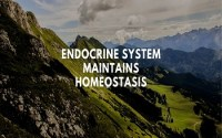 Endocrine system maintains homeostasis