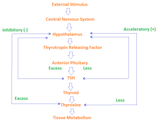 Endocrine system maintains homeostasis - Explain with examples how endocrine system maintains homeostasis and what is feedback mechanism?