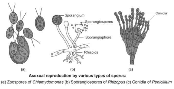 Spore Formation - Asexual Reproduction- Types, Characteristics And Significance