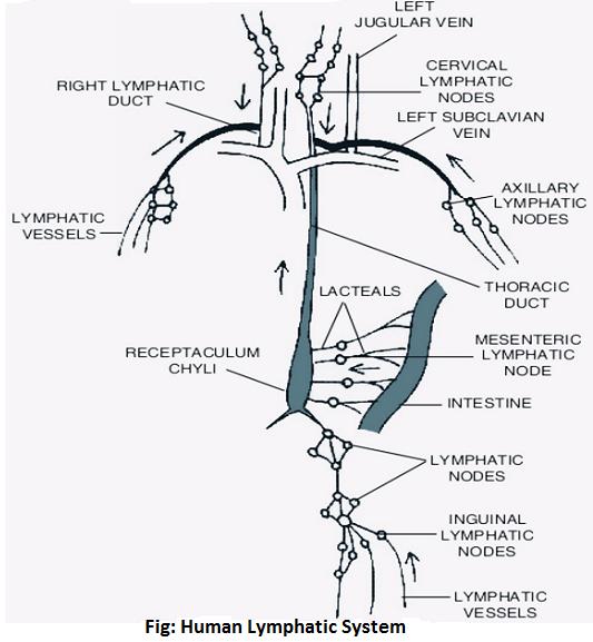 human lymphatic system - Human Lymphatic System