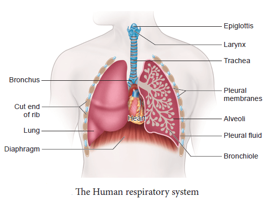 human respiratory system - Write the names of the respiratory organs present in human being. Explain them briefly.