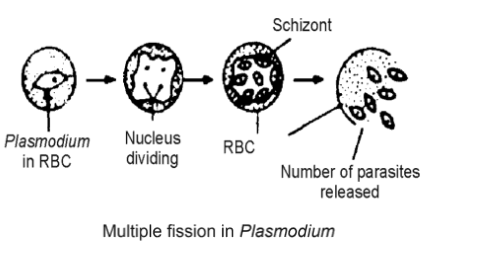 multiple fission in plasmodium - Asexual Reproduction- Types, Characteristics And Significance