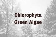 Chlorophyta- Green Algae