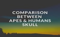 Comparison Between Apes And Humans Skull