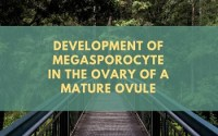 Development of Megasporocyte in the ovary of a mature ovule