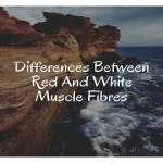 Differences Between Red And White Muscle Fibre