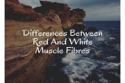 Differences Between Red And White Muscle Fibres