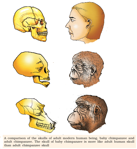 ape and humans skull - Comparison Between Apes And Humans Skull