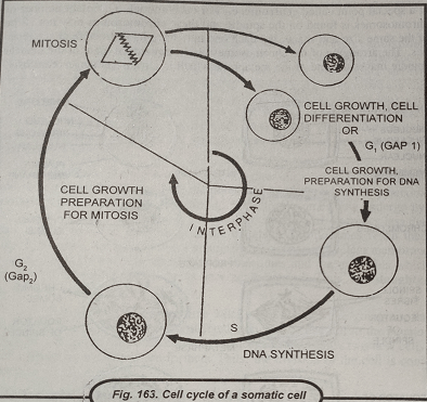 cell cycle of a somatic cell - Name and explain the three stages of the cell cycle associated with Interphase