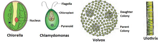 diagram of green algae 1024x267 - Chlorophyta- Green Algae