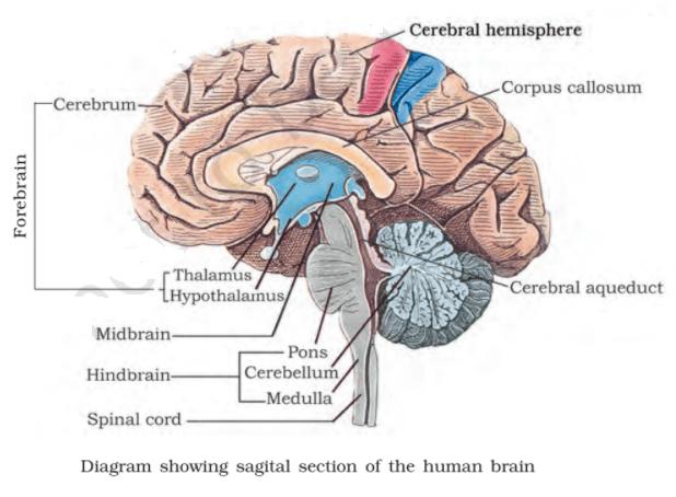 human brain - Structure of Human Brain