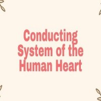 Conducting System of the Human Heart