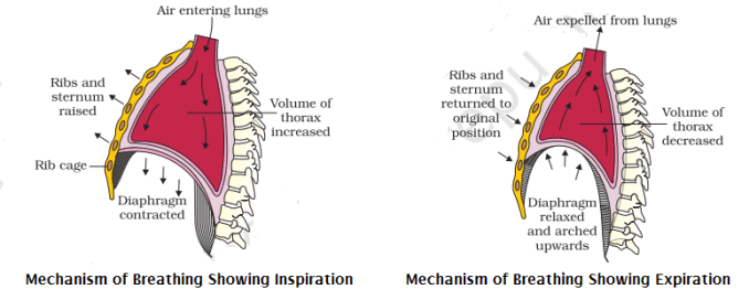 inhalation and exhalation - Mechanism of Breathing or Pulmonary Respiration
