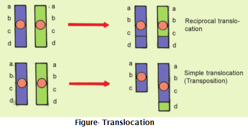 translocation - Mutation due to Changes in Structure of Chromosome
