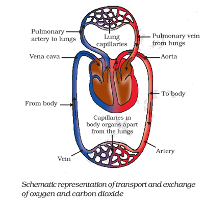 Circulation of Blood in human - Human Heart