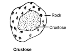 crustose - Lichens-Occurrence, Morphology, Internal Structure and Importance