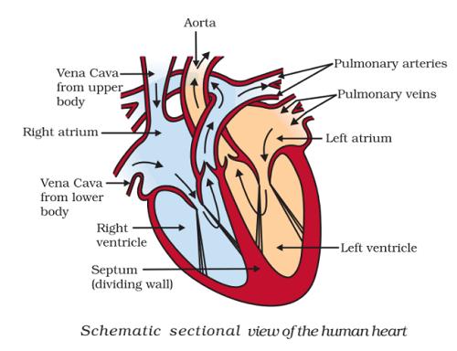 structure of human heart - Human Heart