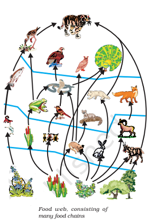 food web consisting of many food chains - Concept of Food Chain and Food Web