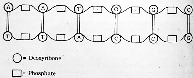 portion of dna moleucle - DNA and its Functions