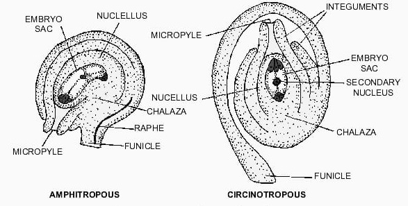 Amphitropous and Circinotropous Ovule  - Forms of Ovules