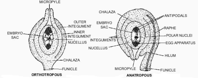 Orthotropous and Anatropous Ovule - Forms of Ovules