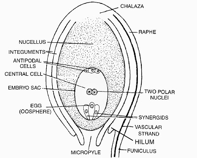 Structure of a typical Ovule - Structure of Ovule
