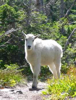 goat-baby