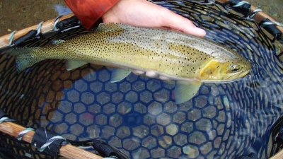 Cutthroat Trout, Middle Fork Flathead River, Glacier Raft Company
