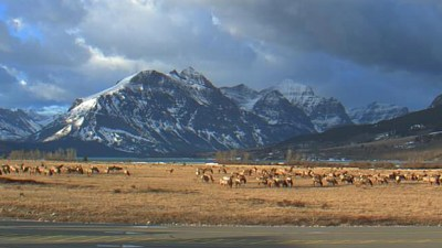 St Mary Webcam view in Glacier Park with a huge herd of elk visiting