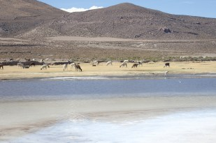 Największe solnisko świata - Salar de Uyuni. W tle flamingi i lamy. Fot. J. Małecki