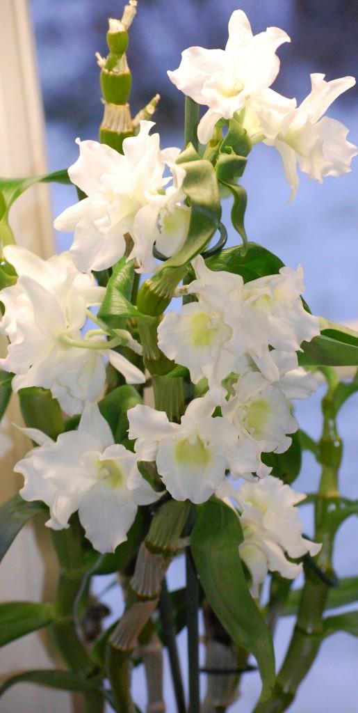 Dendrobium nobile Vinterdendrobium (1)