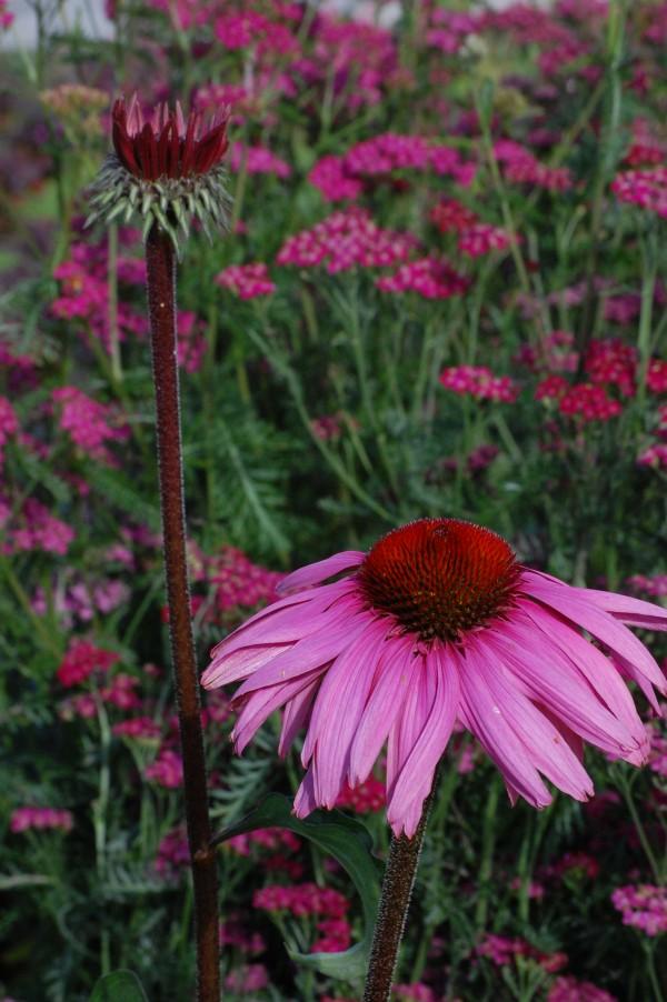 Echinacea purpurea m Achillea millefolium