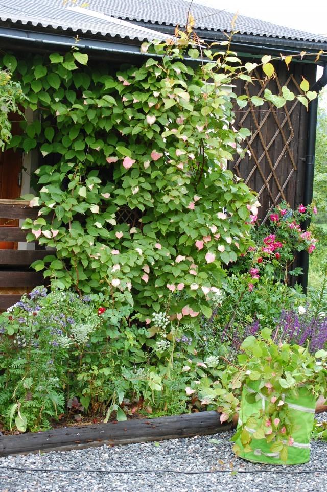 Minikiwi med grönvitrosa blad