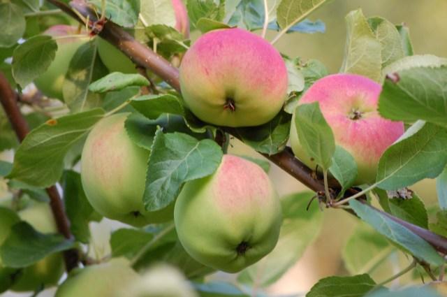 ´Melba´ ett av de godaste äpplena