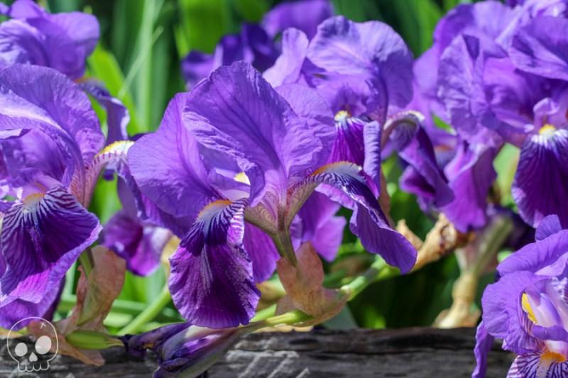 jardin iris