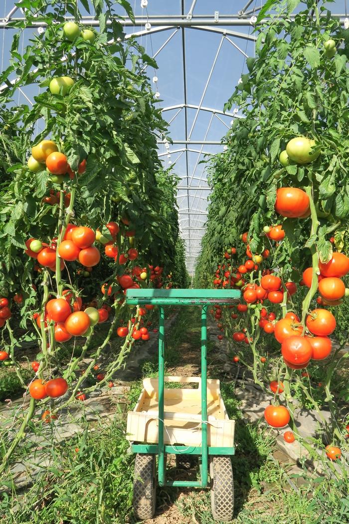Et si on devenait locavore ? Le locavorisme c'est consommer des fruits et légumes frais de qualité mais qui n'ont pas voyagé pendant plusieurs centaines de kilomètres avant d'arriver dans notre supermarché. C'est une démarche éco-responsable qui soutient l'économie locale et permet de vivre en harmonie avec la terre et le cycle des saisons. Que l'on mange bio, que l'on soit omnivore, végétarien, végétalien ou végane, on peut tous être locavore !