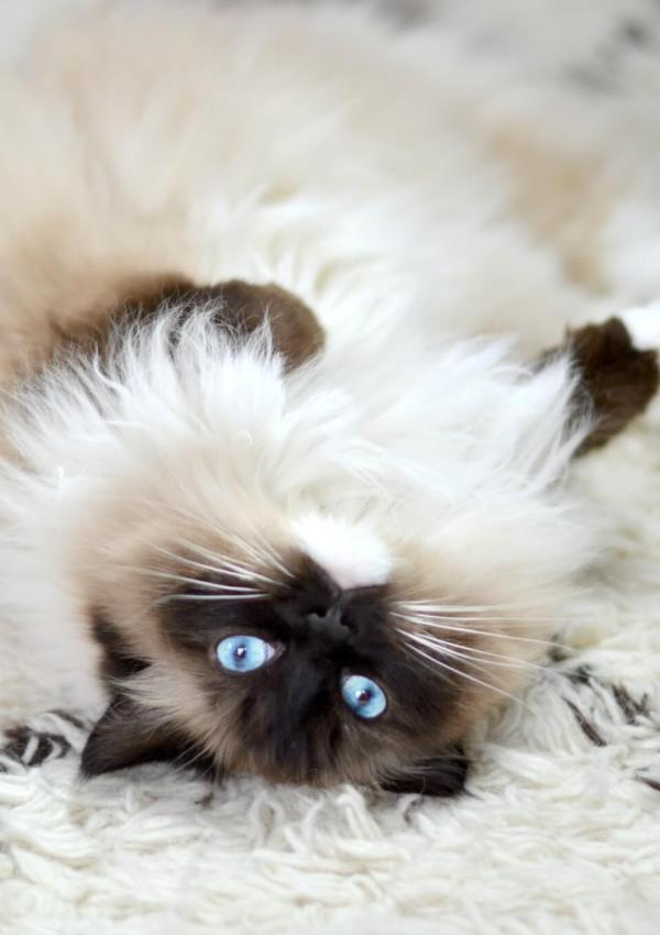 The Best Pet Insurance Plan Ever – Purrfectly Made for Cats
