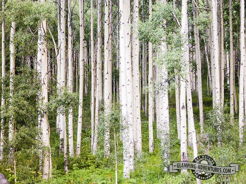 Trees at the campsite, Matterhorn Campground, Telluride, CO.