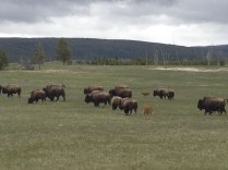 Herd of bison with calves, YNP.