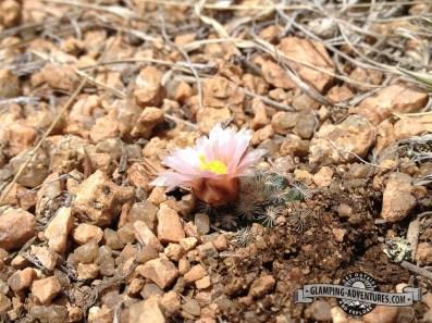 Hedgehog Cactus, Mueller SP, CO.